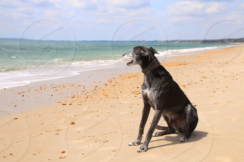 black short haired medium sized dog on the beach photo