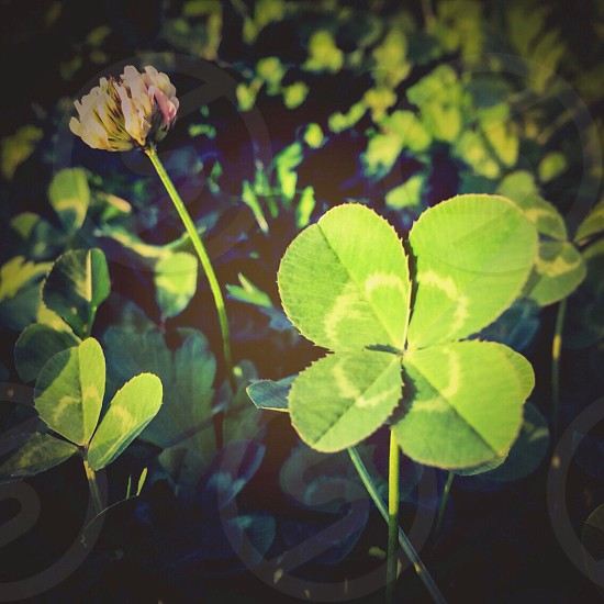focus photo of green 4 leaf clover beside yellow and pink petaled flower photo