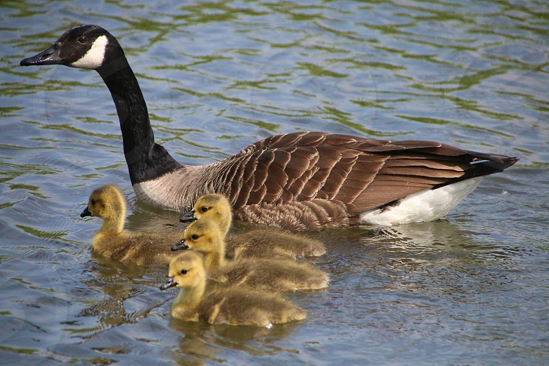 Canadian Goose with young photo