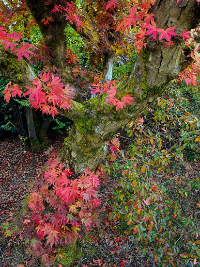 Japanese Maple (Acer palmatum) in Autumn Colours photo