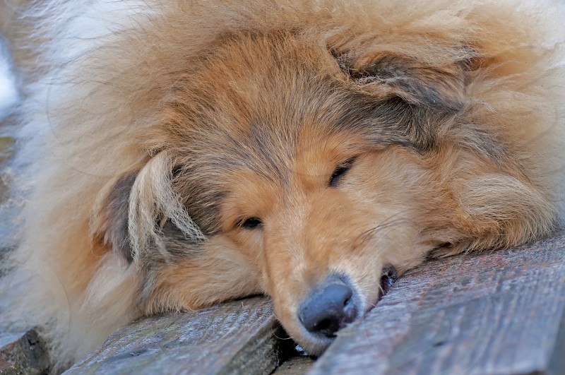 young collie dog is tired photo