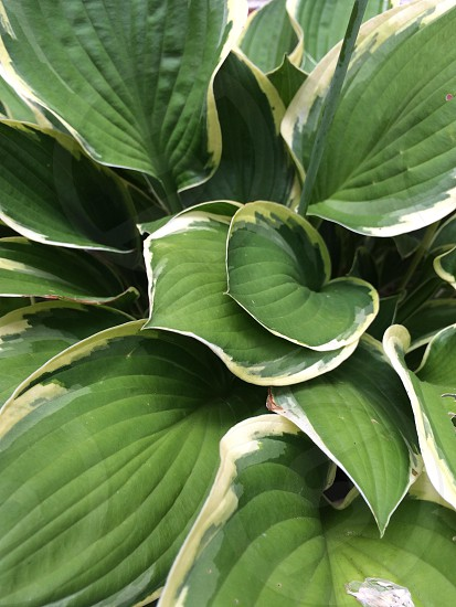 Variegated Hosta leaves photo