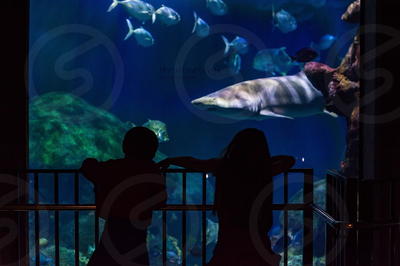 Chattanooga TN Tennessee Aquarium children watching shark and other fish silhouette of children in front of aquarium photo