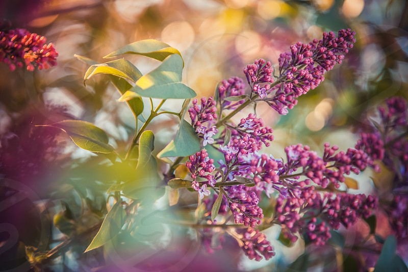 Beautiful lilac blooming in the garden shining with the rays of the sun photo