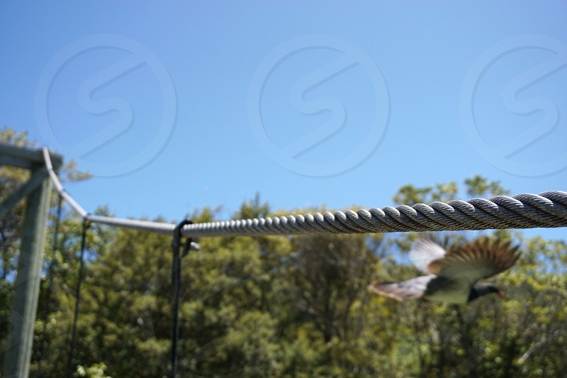 Wood pigeon flying bird rope out of focus feeedom photo