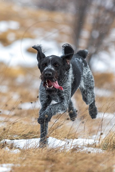 German wirehaired dog pointer running in winter environment photo