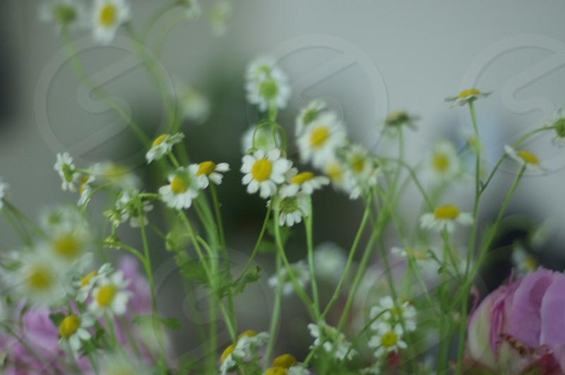 Chamomile blooms. photo