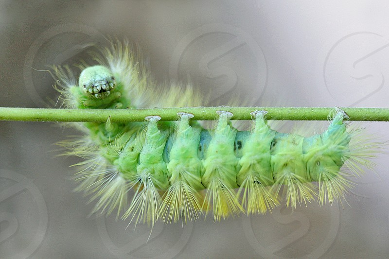 green fur caterpillar on a green stem photo