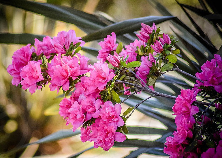 Pink blooms nature photo