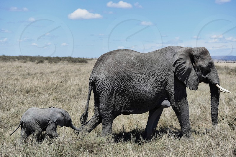 Baby elephant and it's momma stroll in the Serengeti photo