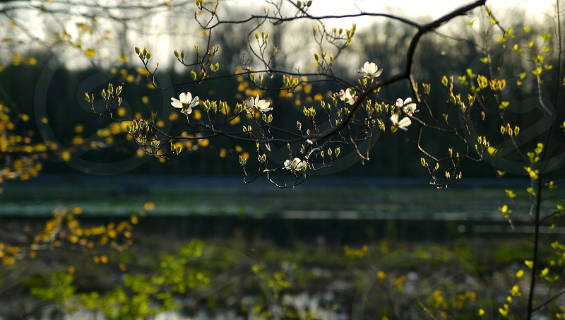Budding dogwood by river in spring. photo