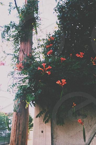 orange bell flowers photo