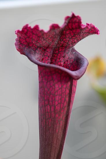 Single trumpet of carnivorous plant Juthatip Soper photo