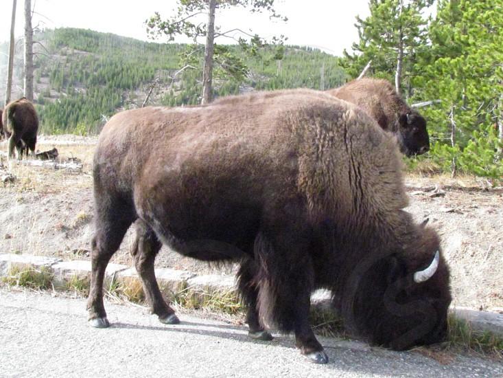 Bufalo Montana photo