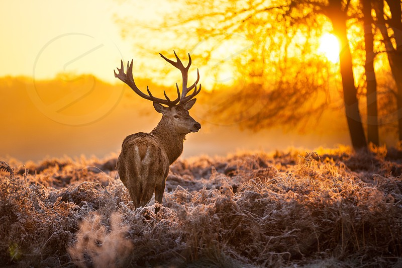 Wild animal in cold winter morning - by the christmas style... photo