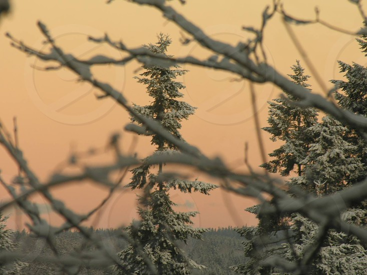 Snow covered evergreen tree viewed through frosty limbs and branches against peach colored sky. photo