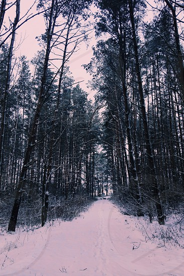 forest with snowing photo