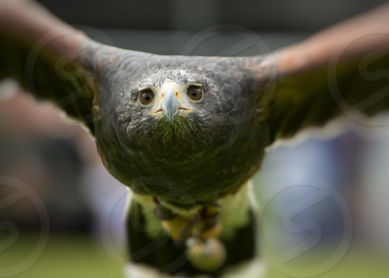 flying bird of prey photo
