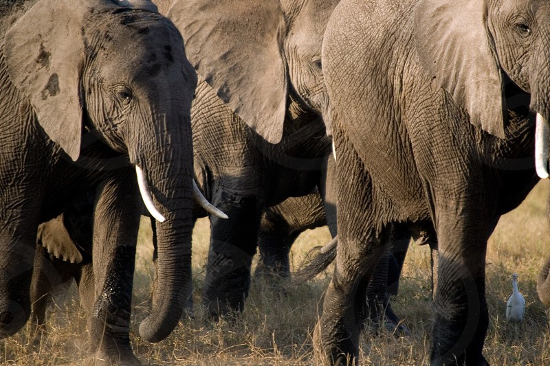 Elephants in South Luangwa National Park Zambia. photo
