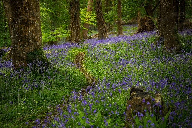 Bluebells in Forest Killarney Ireland  photo