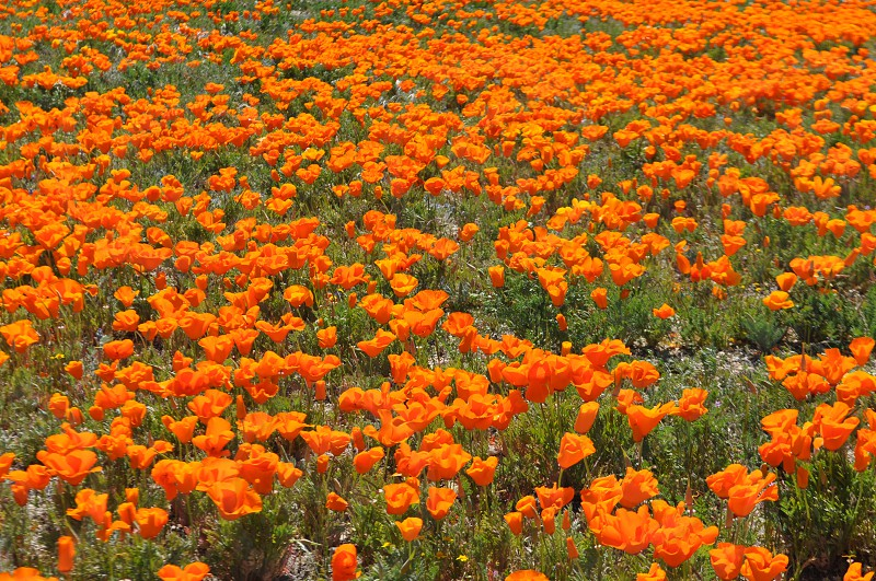Beautiful field of orange wild flowers  photo