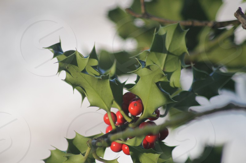 Holly Berries  photo