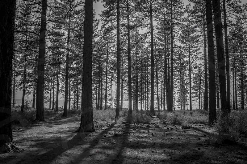 black and white photo of trees photo