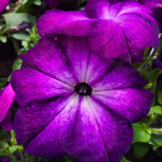 purple petunia flowers in closeup photography photo