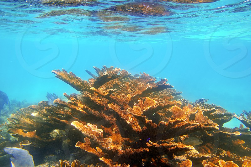 elkhorn coral underwater reef in Quintana Roo Mexico  photo