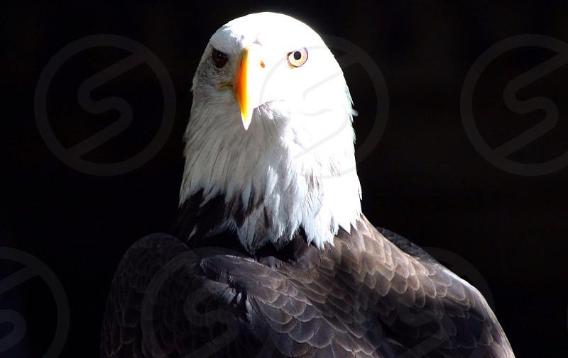 black and white eagle photo