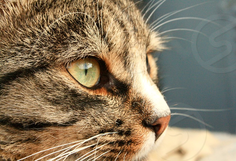 Cat pet portrait profile close up domestic photo