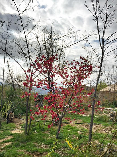 red floral tree in between bare trees on green grass under cloudy sky photo