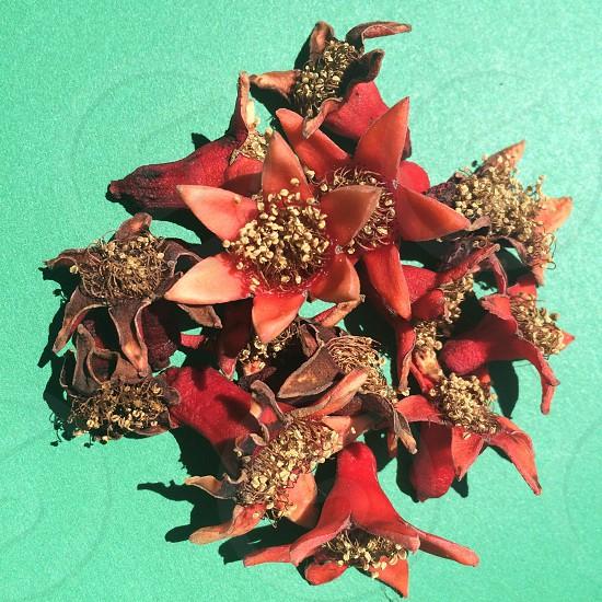 Pomergranate blooms  photo