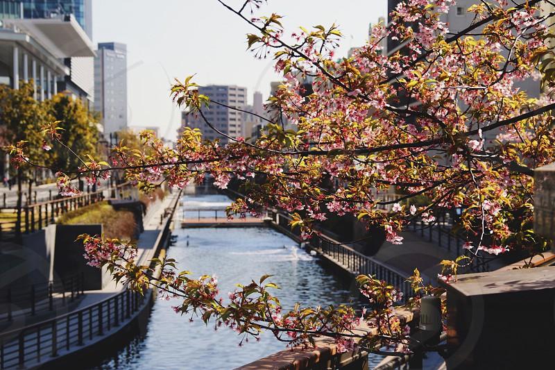 Spring  bloom cherry water  Tokyo  photo