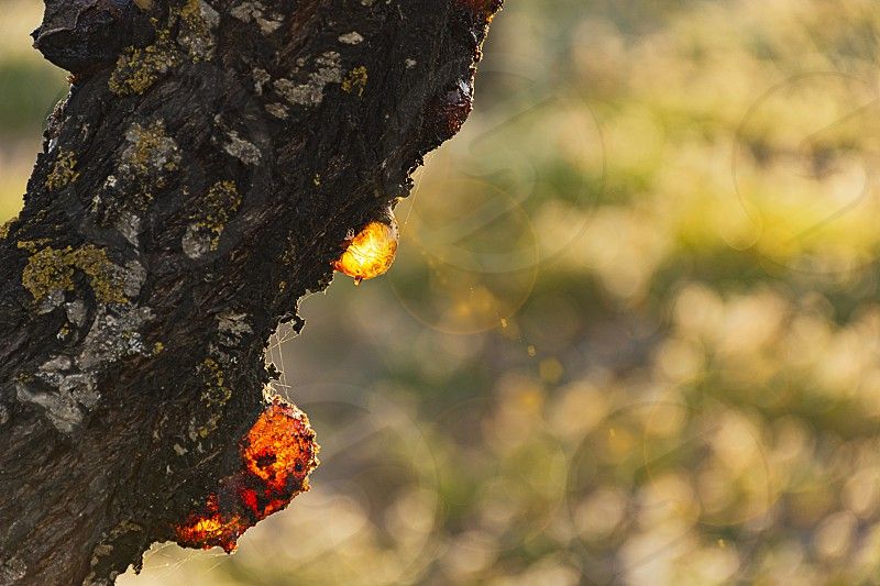 Resin dripping from an almond tree. Sweet AlmondPrunus dulcis. Family: Rosaceae (Rose Family). A piece of resin is dripping from al old almond at sunset. Spain. photo