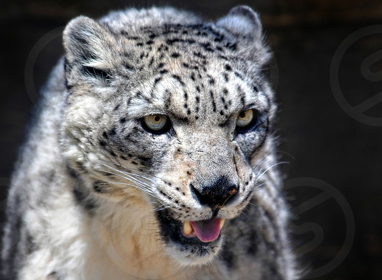 snow leopard exotic  big cat endangered photo