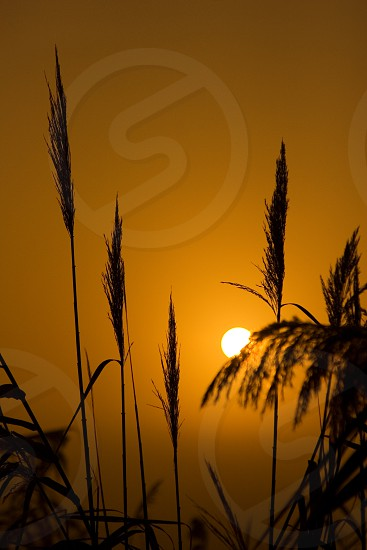 sunrise sun orange morning reed plant silhouette black white sunlight evening sunset evening photo