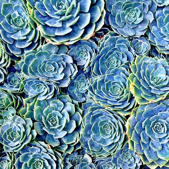 green succulents photo photo