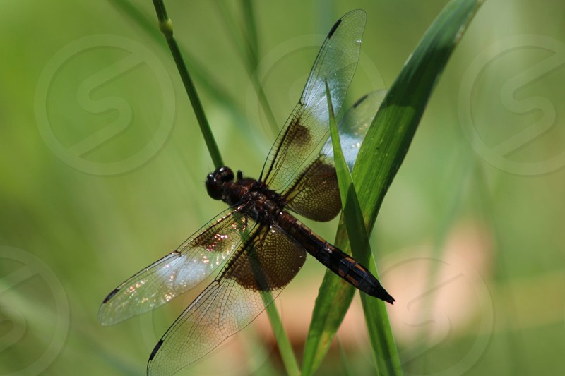 nature insect dragonfly wings wildlife beauty closeup green grass big eyes white photo