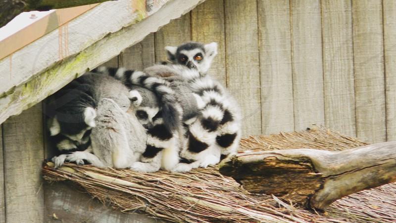 grey lemurs on wood photo