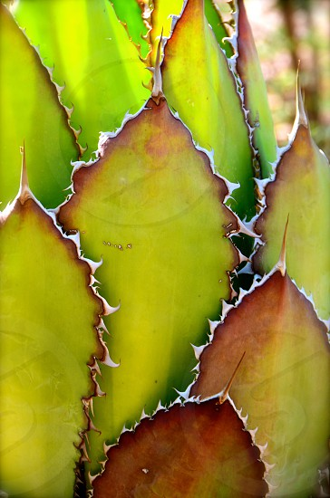 Agave cactus in the desert landscape of the American southwest photo