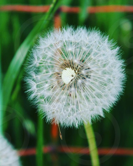 focus photograpy of white dandelion flower photo