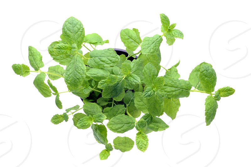 fresh pepper mint plant leaves on white isolated background. top angle view photo