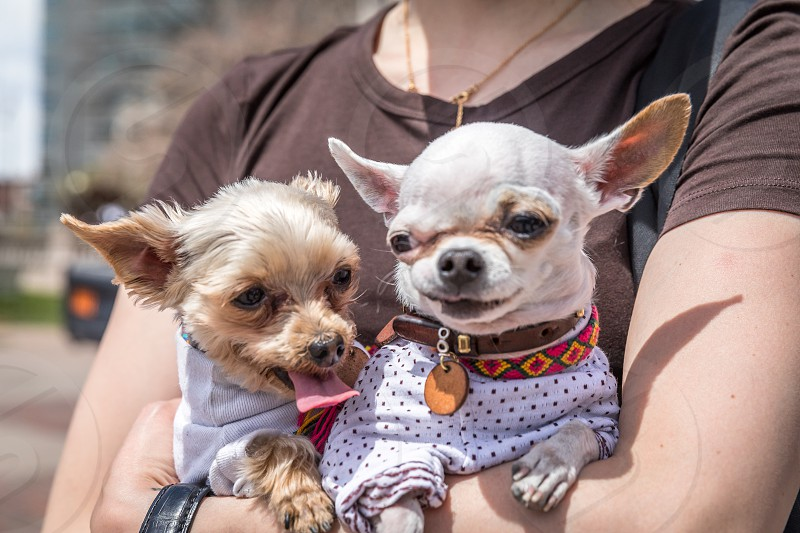 A yorkshire terrier and chihuahua dog photo