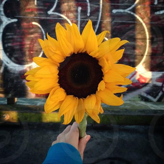 Giant Sunflower photo