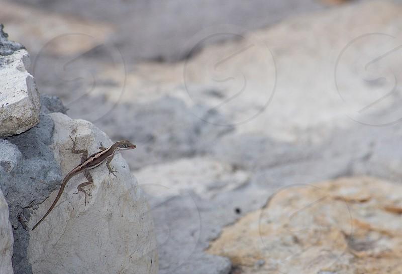 Gecko Antigua wildlife outdoors Caribbean photo