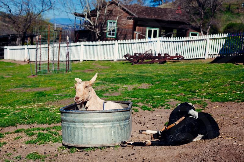 black and white goat on ground photo