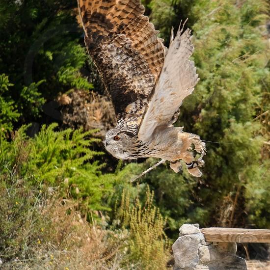 Eurasian Eagle-Owl (Bubo bubo) at Mount Calamorro photo