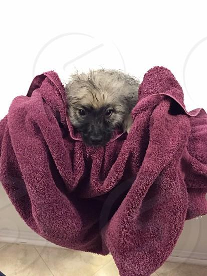 Puppy bath; bath time; Keeshond; towel dry; wet dog photo