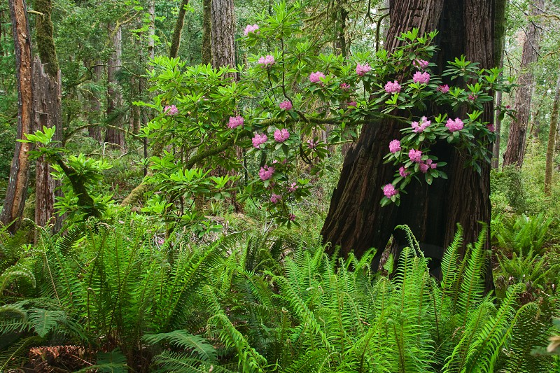 Rhododendronm spring bloom forest ferns lush green understory photo